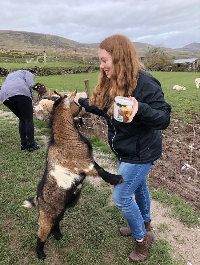 Feeding a Goat in Dingle - Copy