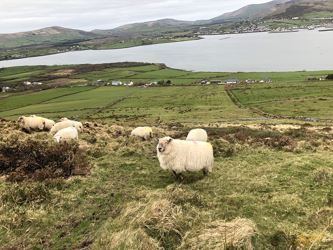 Sheep on a Mountaintop in Dingle